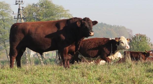 Cena bydła leci w dół