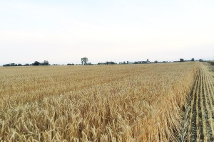 Desykacja zbóż