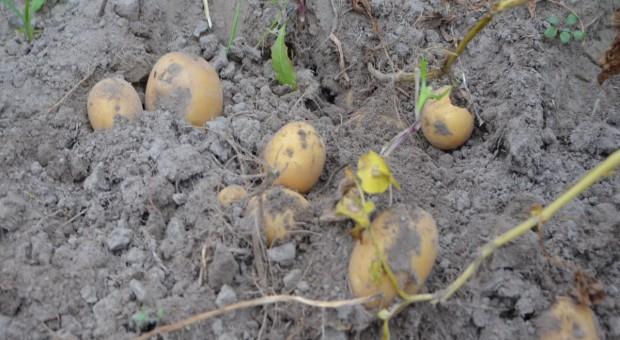 Susza przeszkadza też uprawom ziemniaka, nie tylko w Polsce