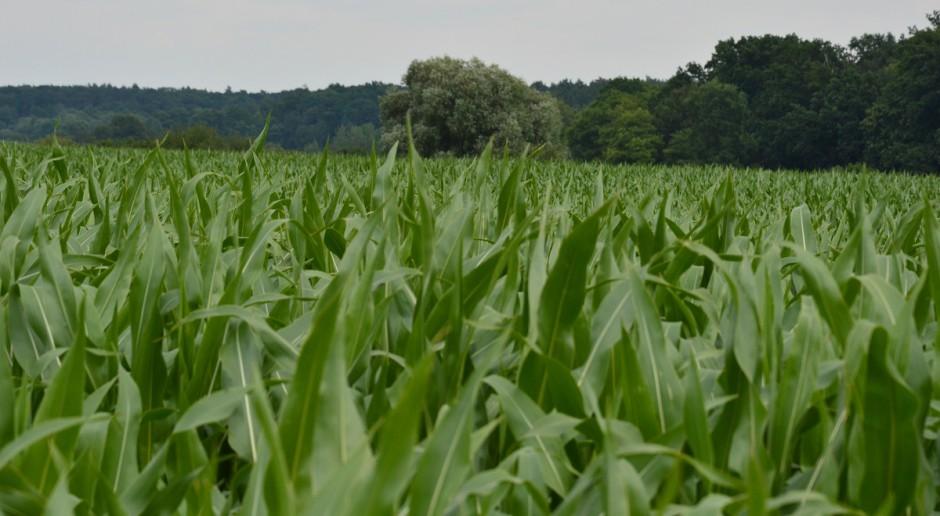Stan plantacji kukurydzy – czy jest szansa na dobry plon?