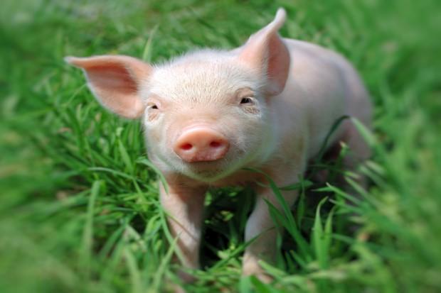 UE: Spada eksport wieprzowiny