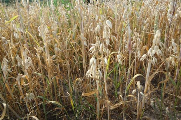 Mazowsze/ Ponad połowa gmin zagrożona suszą