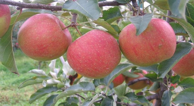 Według projektu KE polscy producenci jabłek i gruszek dostaną rekordową pomoc