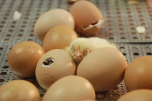 Polska liderem w eksporcie jaj wylęgowych i piskląt