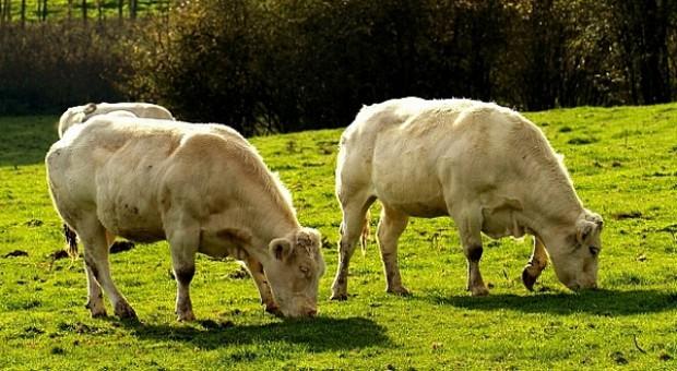 Dalsze przeceny w cennikach skupu bydła