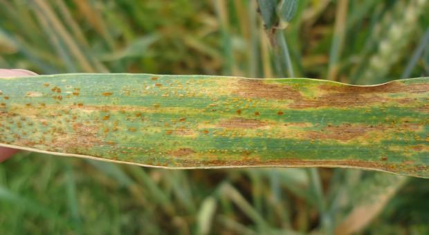 Zaniedbane zboża jare intensywnie porażone przez patogeny