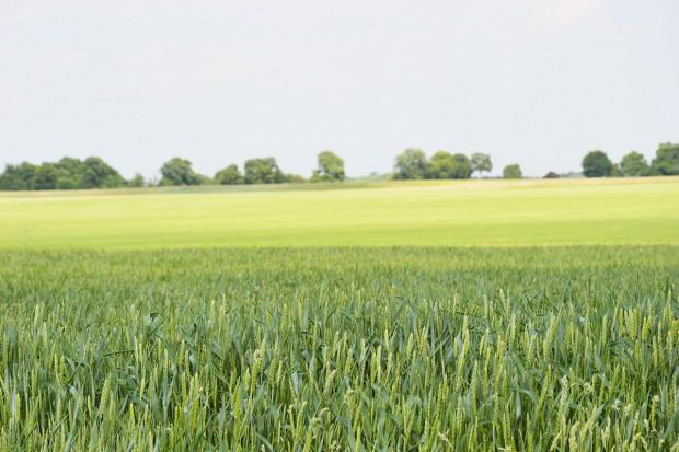 Wymagania jakościowe zbóż konsumpcyjnych