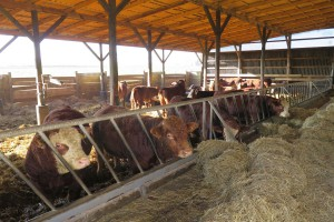 Izby rolnicze: Susza spowodowała niedobór pasz objętościowych dla bydła