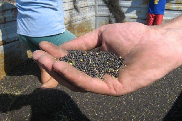 Ceny nasion rzepaku w skupie
