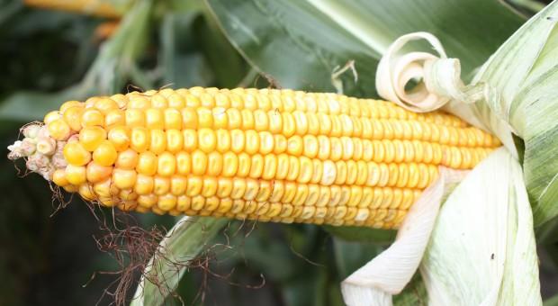 Będzie dobra dostępność wysokiej jakości nasion kukurydzy