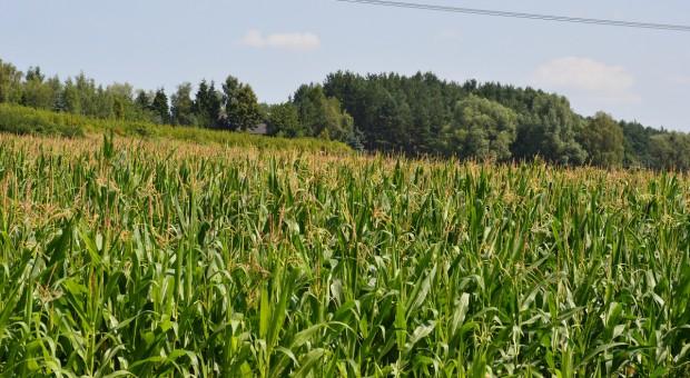 Przylżeńce, czyli wciornastki w kukurydzy
