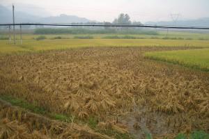 Chiny: Rekordowa produkcja zbóż