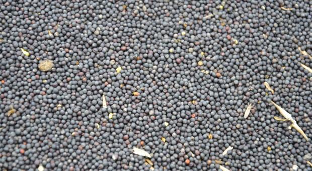 Aktualne ceny nasion rzepaku