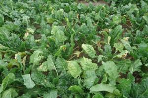 Pożółkłe liście buraka cukrowego – to mogą być przędziorki