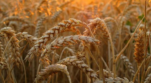 Rosja: Większe zasiewy pod tegoroczne zbiory pszenicy