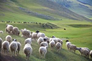 Na Islandii w tajemniczy sposób umierają tysiące owiec