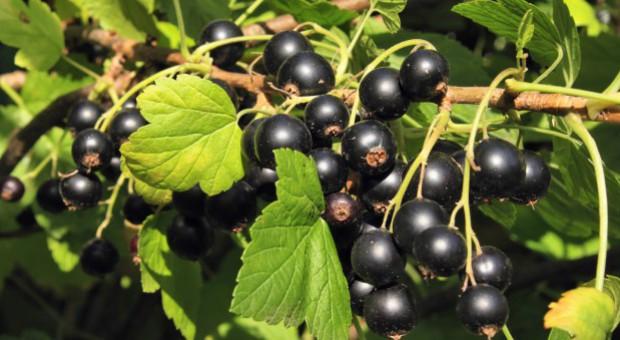 Sawicki: plantatorzy czarnych porzeczek dostaną wsparcie
