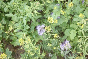 Międzyplon ozimy jako EFA, wcale nie musi się składać z roślin ozimych