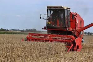 Żniwa nabrały tempa – wreszcie przystąpiono do zbiorów pszenicy
