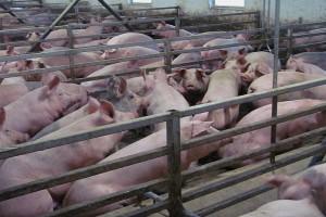 O czym pamiętać stosując groch w żywieniu świń