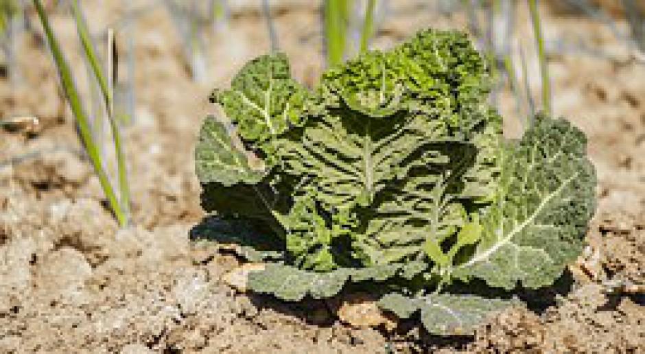 GUS: Warzyw ma być prawie 5 proc. mniej niż w 2014 r.