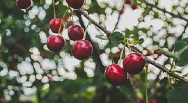 GUS: Rekordowe zbiory owoców z drzew, nieco mniejsze owoców z krzewów i jagodowych