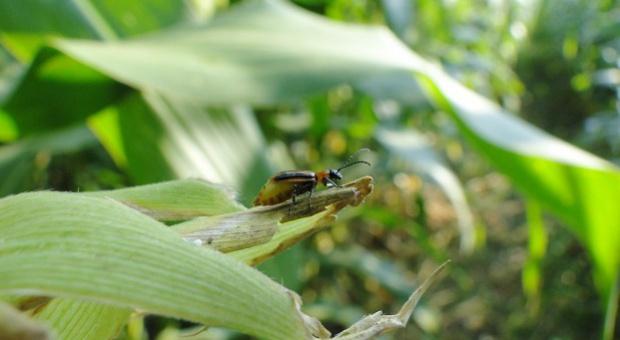 Drugi oprysk na stonkę kukurydzianą