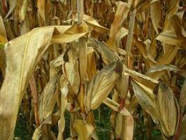 Rumunia: Miliardowe straty z powodu suszy