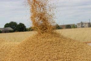 Ceny zbóż: dużo skupów - liczy się jakość