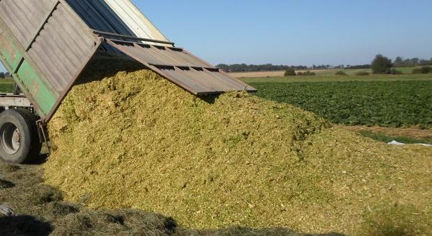 Część kukurydzy na ziarno będzie przeznaczana do produkcji kiszonek