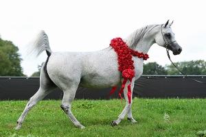 1,4 mln euro za najdroższego konia na aukcji w Janowie Podlaskim