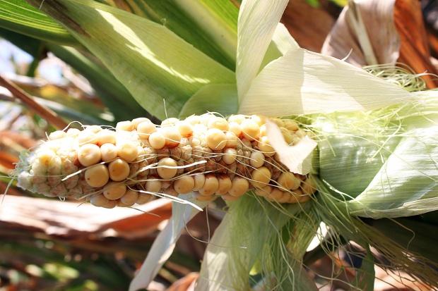 Słabo wykształcone kolby kukurydzy