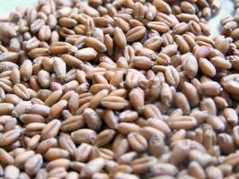 Niemcy: Plony pszenicy niższe o 12 proc. od ubiegłorocznych