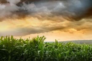 Czy można było ograniczyć skutki suszy w uprawie kukurydzy?