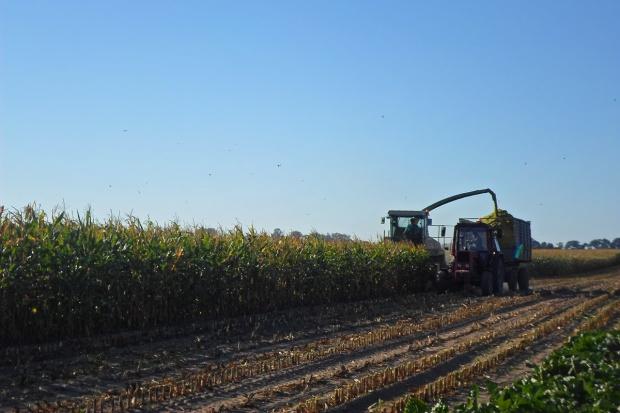 Kukurydza na kiszonkę jak ją wycenić?