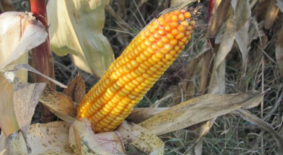 Zalecane dawki kiszonego ziarna kukurydzy w paszach dla świń