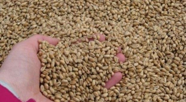 IGiK szacuje tegoroczne plony pszenicy i rzepaku