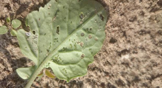 Zwalczanie mszycy kapuścianej w rzepaku