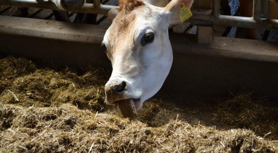 Kopacz: będzie program pomocy dla poszkodowanych przez suszę hodowców bydła