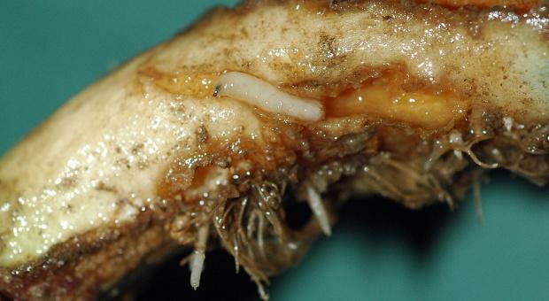 Nadal mały wybór insektycydów do zwalczania jesiennych szkodników w rzepaku