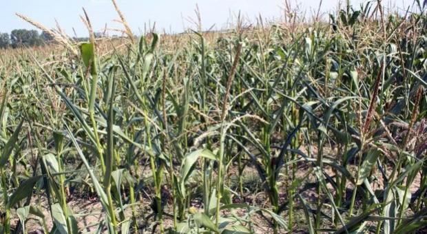 Zbiór kukurydzy kiszonkowej na półmetku