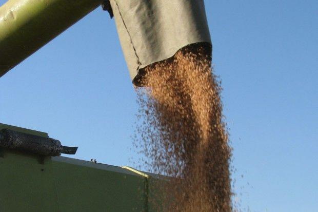 Plon pszenicy niewiele niższy niż w roku ubiegłym