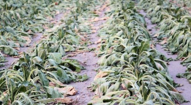 KZPBC: Straty w buraku z powodu suszy mogą wynieść nawet 30 proc.