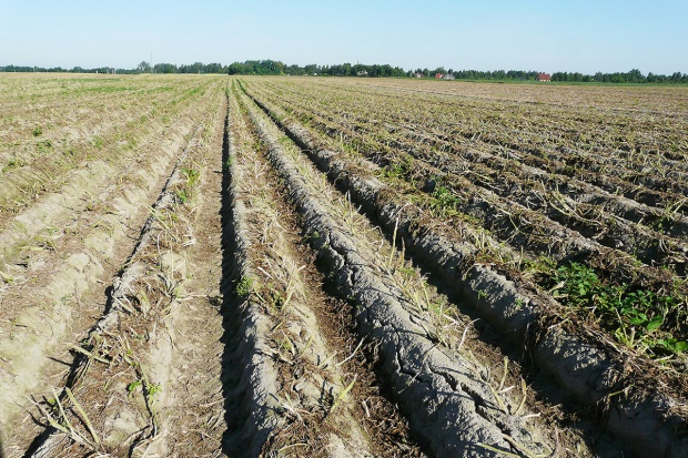 Ochrona plantacji ziemniaka bezpośrednio przed zbiorem