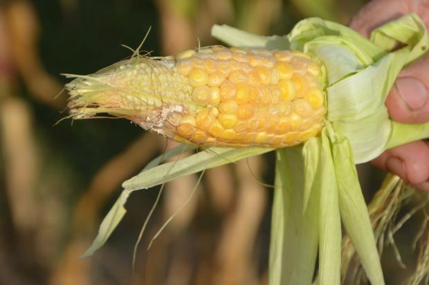 Słaba kukurydza na Lubelszczyźnie