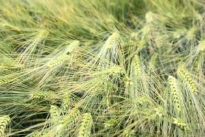 COBORU: Wysoki plon jęczmienia ozimego