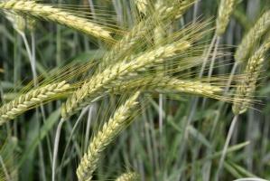 Jak plonowało pszenżyto ozime?