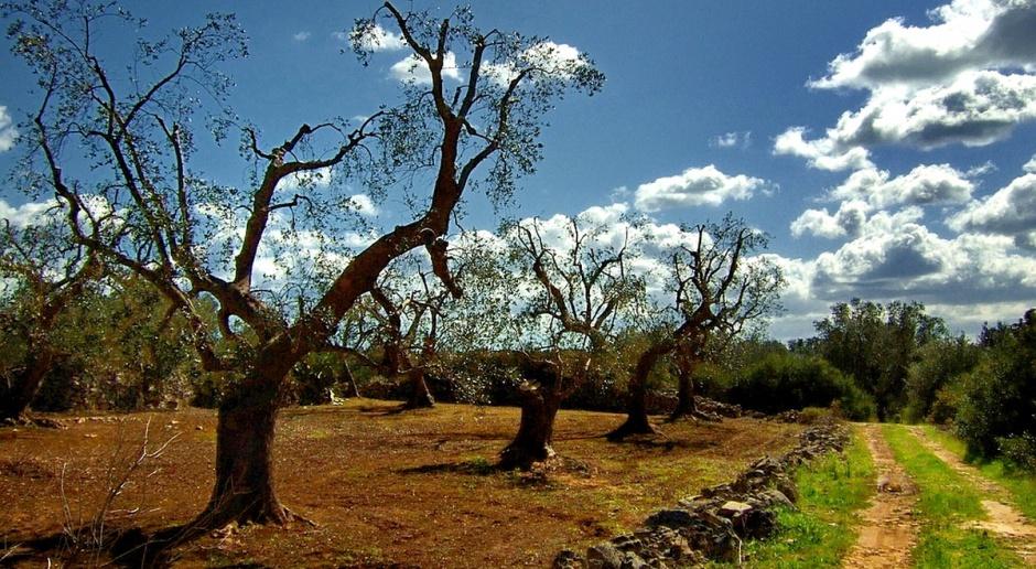 Groźna bakteria niszczy drzewa oliwne we Włoszech (video)