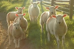 PE za całkowitym zakazem klonowania zwierząt w UE
