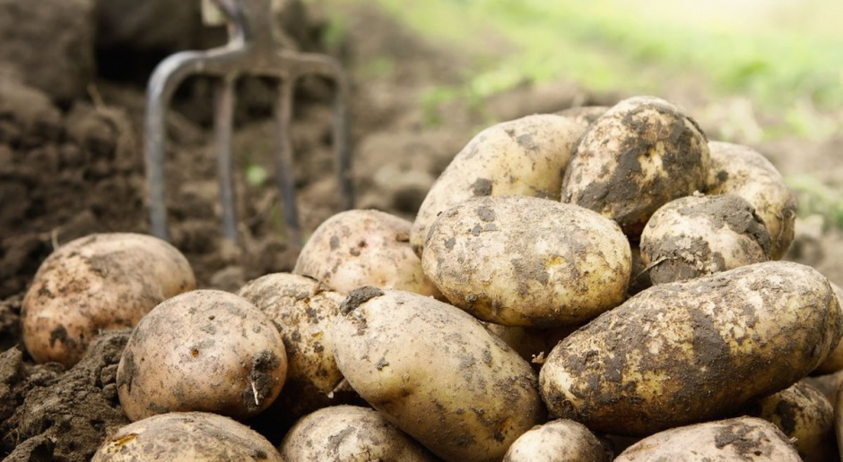 Znacząco niższe zbiory ziemniaka, susza odbiła swoje piętno